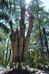 Palmier de Sissi